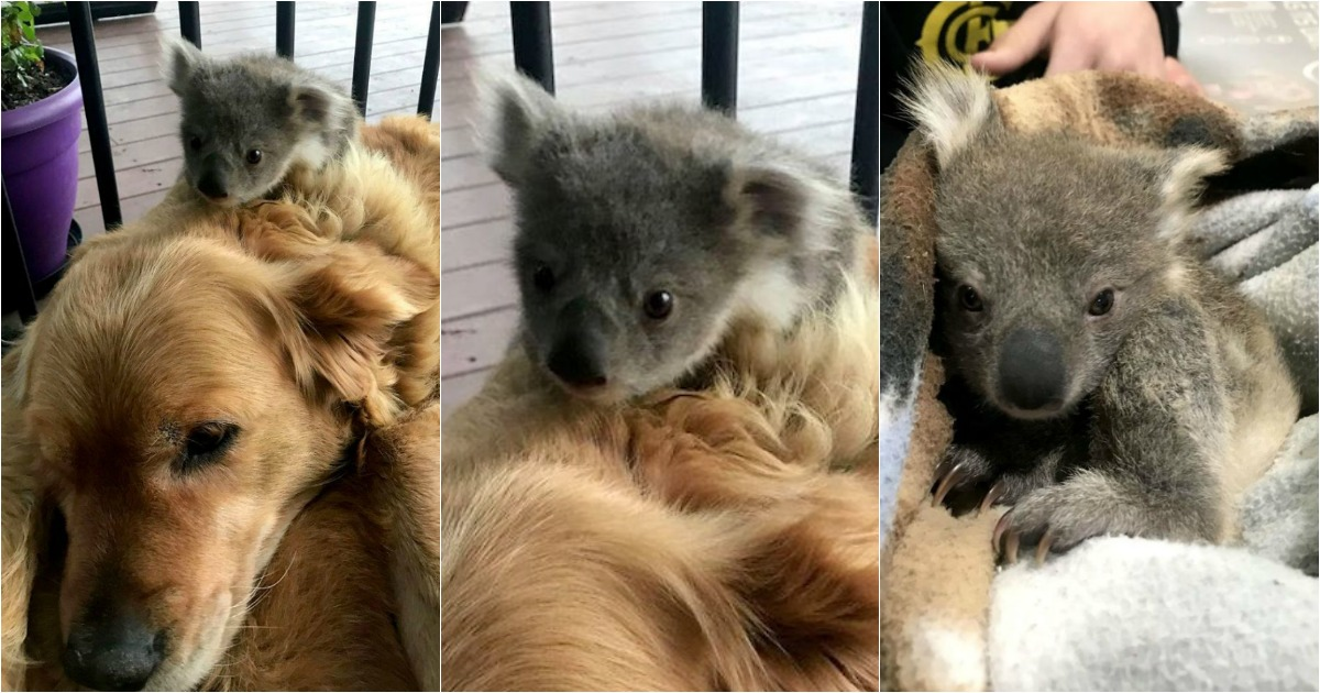 Resultado de imagem para koala and golden retriever